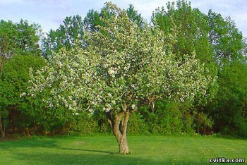 Дика яблуня