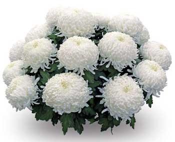 Мамині хризантеми
