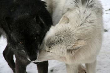 Два вовки