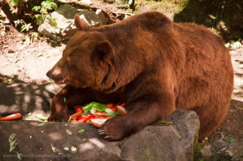Як Ведмідь був царем