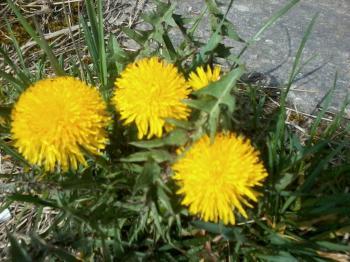 Цвіт кульбаби