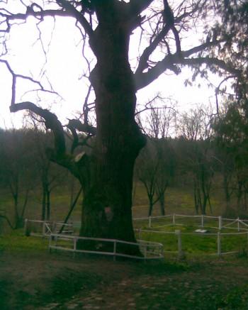 Старий дуб