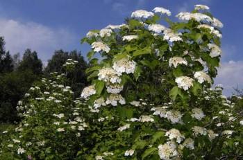 Білим-білим цвітом