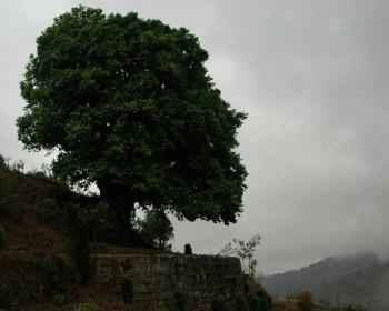 Спогад чайного дерева