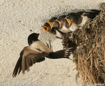 Із змахом ластівиних крил