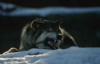 Вовче