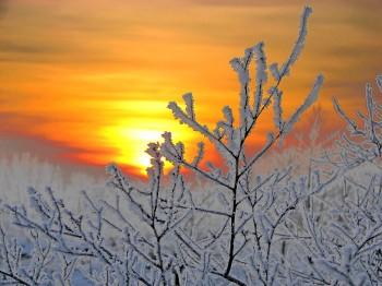 Лілея крижаного сонця