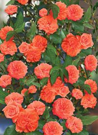 Зацвіли троянди в моєму садку