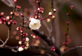 Народження квітки абрикоса