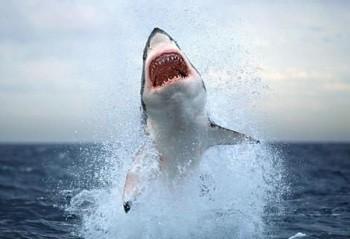 Поранена акула