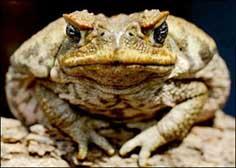 Старезна жаба