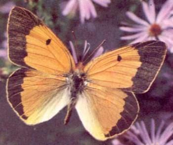 Аврорина жовтушка