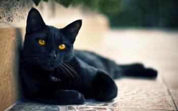 Чорна кішка