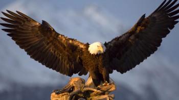 Орел на полюванні