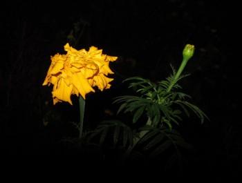 Чекання з золотою квіткою