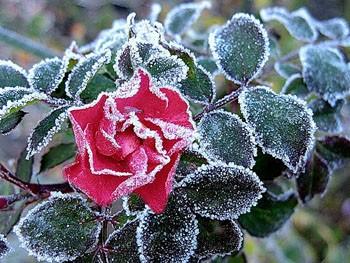 Морозом покрилися квіти