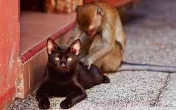 Кіт і мавпа