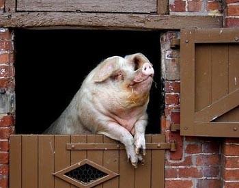 Хвалиться свиня