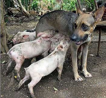 Свиняча мати