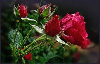 Час трояндового сну