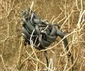 Зміїна отрута