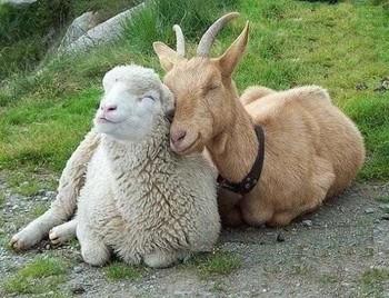 Козел і вівця