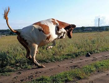Корова танцівниця
