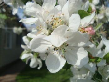 Яблуня у цвіті