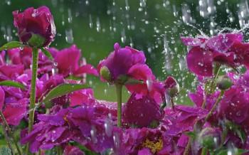 Мелодія квітучих півоній