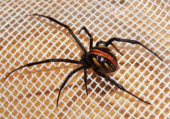 Павук ткач