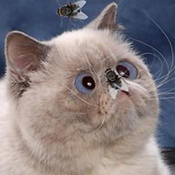 Кіт і мухи