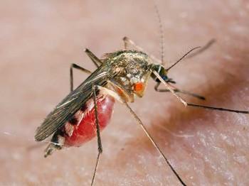 Почему комары пьют человеческую кровь?