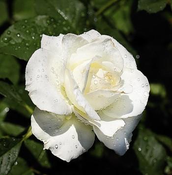 Троянда на морозі