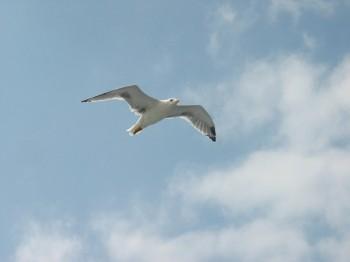 Пісня Донбаської чайки