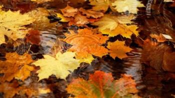 Осені кленовий листопад