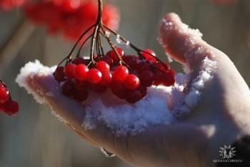 Калинові ягоди