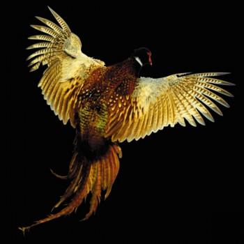 Ноктюрн з фазаном