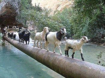 Кози з стійла повтікали