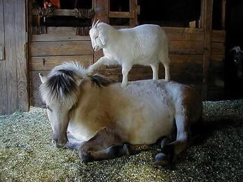 Зустрів кінь козу