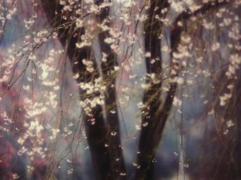 Вишневі квітучі тумани...
