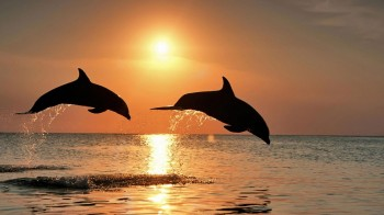 Серце дельфіна