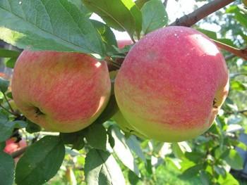 Старенька яблуня