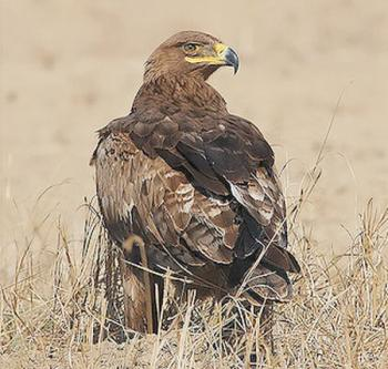 Останній орел
