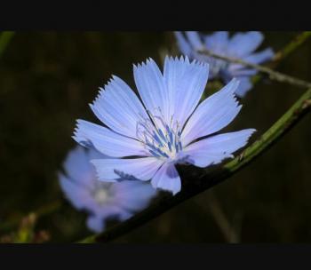 З цикорію блакитної жаги