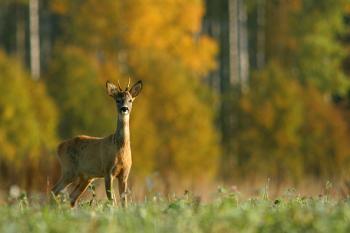 Бродить косулею осінь…