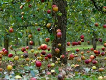 Не про яблуньку
