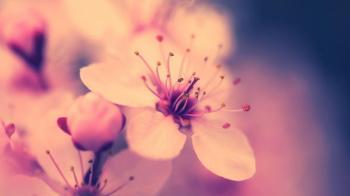 Ясніє сутінь цвітом абрикоси