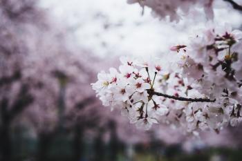 В духмяній сутіні весна...