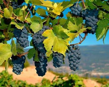 Сині грона винограду...