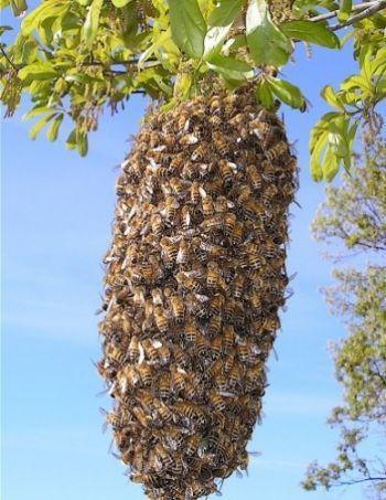 Пчелиная борода